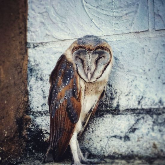 I captured this photo at the CDGI Indore, Madhya Pradesh, India. One Animal Animals In The Wild Animal Wildlife Outdoors Bird Nature Animal Themes Owl Sleep Cute Harrypotter Hedwig EyeEmNewHere India Madhyapradesh Indore Cdgi