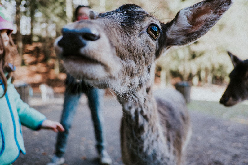 Animal Themes Close-up Day Deer Domestic Animals Eyes Focus On Foreground Livestock Low Angle View Mammal Nature Outdoors People Real People Red Deer Stroking Touching