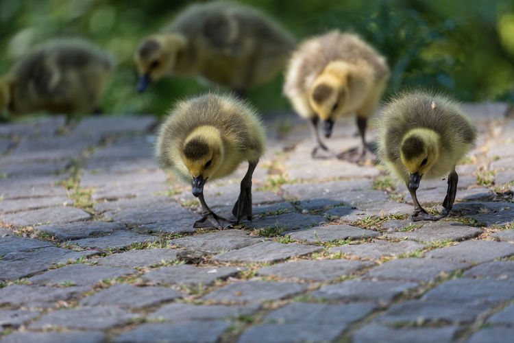 Young Bird Young Animal Group Of Animals Animal Themes Animal No People Bird Selective Focus Day Animal Wildlife Gosling Vertebrate Nature Animals In The Wild Duckling Outdoors Plant Close-up Footpath Animal Family Cygnet
