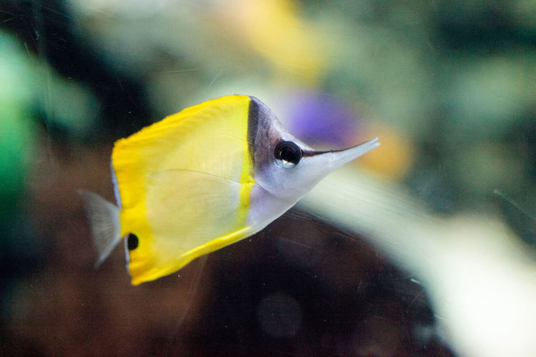 Yellow longnose butterflyfish Forcipiger flavissimus swims over a coral reef Angelfish Animal Themes Butterflyfish Close-up Coral Reef Day Fish Forcipiger Flavissimus Longnose Butterflyfish Marine Fish Nature No People Outdoors Small Fish Swim Underwater Wildlife Yellow Fish