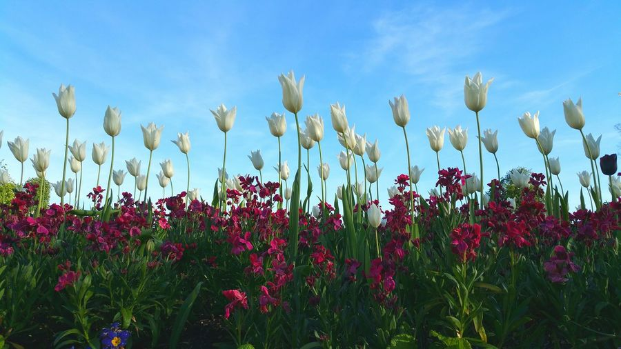 The Essence Of Summer White Tulips Tulips Tulips And Sky Fresh On Eyeem  Colour Of Life TakeoverContrast