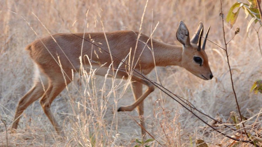 A difficult shot to get this little steenbok was fast and blends in verry well.