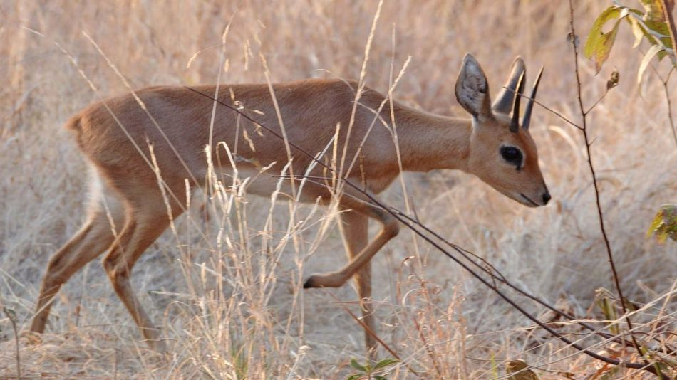 Different edit on this one. thought a closer crop would work better. thoughts? Duiker Day No People Outdoors Grass Animal Themes Plant Full Length Beauty In Nature Safari Animals One Animal Animals In The Wild Animal Wildlife Mammal Nature Standing