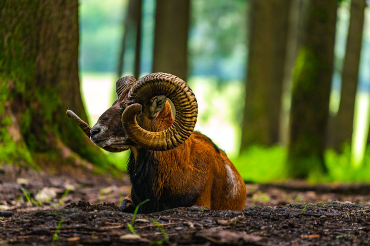 Mouflon portrait Animal Themes Animal One Animal Animal Wildlife Animals In The Wild No People Mollusk Day Tree Close-up Gastropod Focus On Foreground Nature Selective Focus Plant Land Snail Outdoors Forest Animal Body Part Surface Level