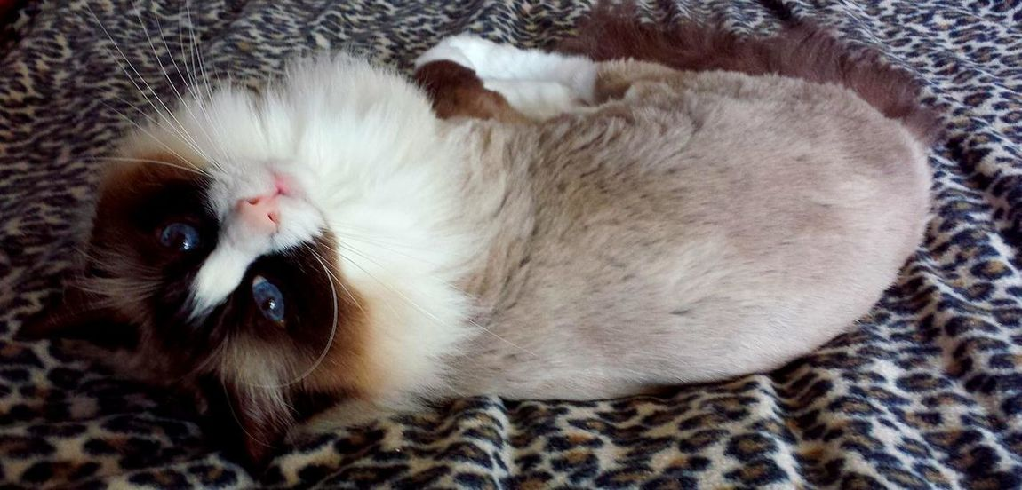 Ragdoll Cat Cats Of EyeEm Blue Eyed Cat Catitude Close-up Domestic Animals Domestic Cat Mammal No People Pets Purr-sonality Ragdoll Cat Striking A Pose Whisker