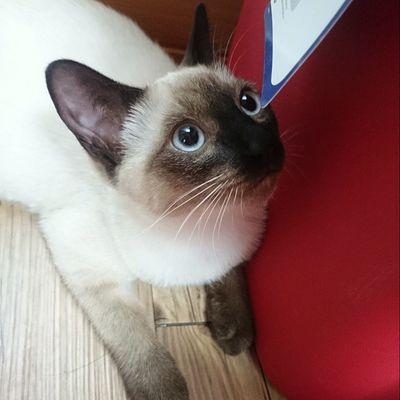 똘망똥망 일상 고양이 고냥이 고양이그램 고냥이그램 고양이스타그램 고냥이스타그램 cat 샴고양이 샴 귀염 cute