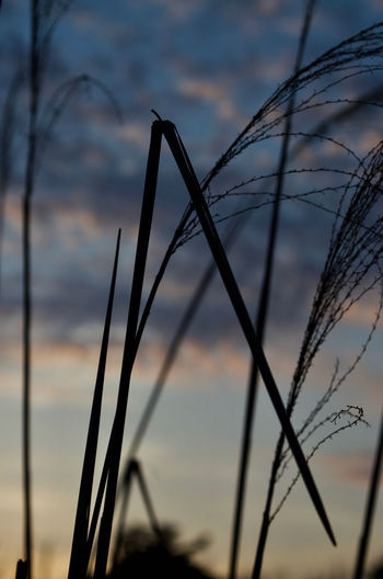 The sunset sky serves as a setting for sumptuous splendidly sinuous stalk silhouettes. Cool Curves Grass Lines Nature Photography Ornamental Serenity Sunset Silhouettes Blue Sky Close-up Clouds And Sky Detail Dusk Landscape Sinuous Stalk