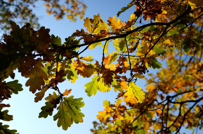 Tree Plant Autumn Leaf Low Angle View Plant Part Beauty In Nature Leaves Outdoors Nature Sky Yellow Day Branch Natural Condition Oak Tree Oak Leaves Blue Sky Fall Fall Colors Fall Beauty Fall Leaves