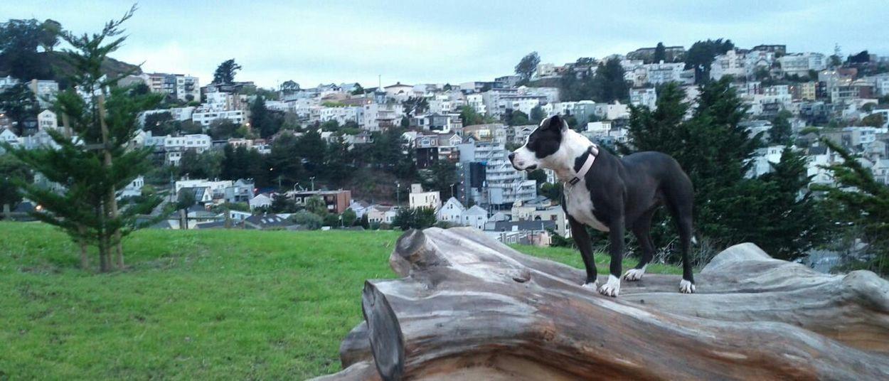 Pets Corner Spoon The Dog Kite Hill Staffy Pitbull Summer Dogs