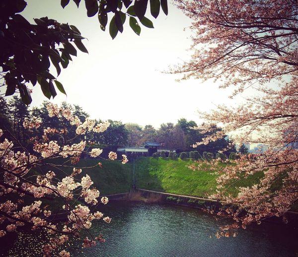 半蔵門 皇居 千鳥ヶ淵 お花見 Enjoying Life Tokyo