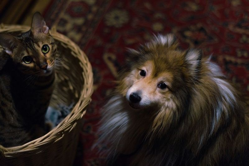 Mammal Domestic Animals Basket Dog Cat And Dog Indoors  Canine Portrait Looking Up Animal Head  No People Pets In The House Pet Photography  Bengal Cat Sheltie Two Cuties Pets Portrait Looking At Camera Cute Young Animal Close-up Animal Eye Yellow Eyes Cat Wicker Animal Hair Visual Creativity