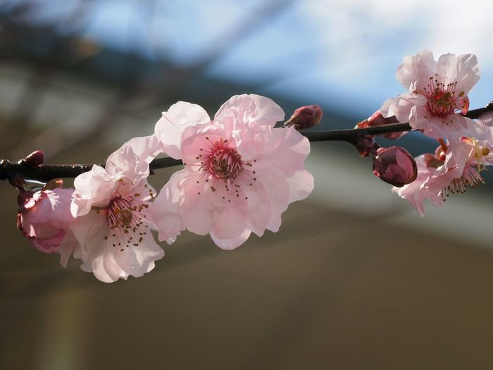 Close-Up Of Pink Cherry Blossom Blooming On Twig