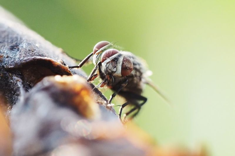 A slight mistake of stacking macro photography because the object, a fly, is moving while shooting. Error Mistake EyeEm Selects Invertebrate Animal Themes Animal Wildlife Insect Animals In The Wild Animal One Animal Close-up Selective Focus Day Macro Nature