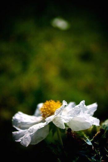Taken in Lampasas, Texas. Flower Nature Beauty In Nature Petal Lampasas Texas Poppy Klmfoto Tnkarts Canont3i