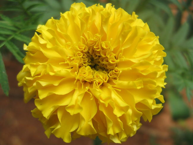 😊be happy everyone😊 . a variant of marigold flower. Yellow Flower Close-up Petal Freshness Flower Head Fragility Outdoors Day No People Nature CanonA580 The Purist (no Edit, No Filter) Exceptional Photographs Enchanting India EyeEm Best Shots EyeEm Gallery Photography Nature Springtime Freshness EyeEm Nature Lover From My Point Of View Beauty In Nature Hello World Lieblingsteil The City Light