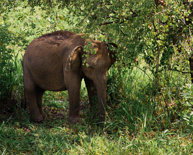 Animal Animal Themes Animals In The Wild Day Elephant Grass Indian Elephant Mammal Nature No People Outdoors Travel