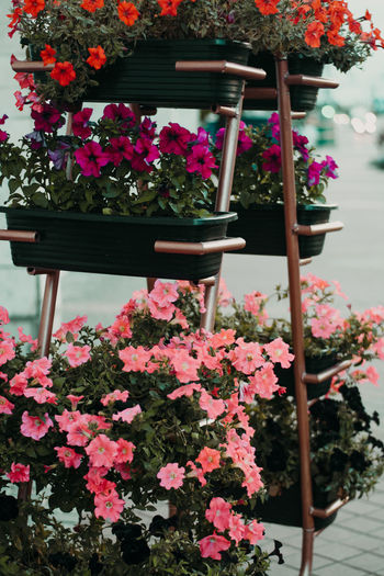 Flower Flowering Plant Plant Beauty In Nature Freshness Pink Color Growth Nature Fragility Vulnerability  Petal No People Day Close-up Flower Head Potted Plant Outdoors Inflorescence Botany Focus On Foreground Springtime Flower Pot Gardening Bunch Of Flowers