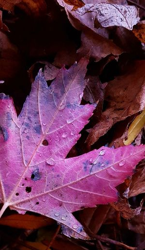 Close-up Autumn Leaves Autumn Colours, Leaves🌿 Leaves 🍁 Leaf 🍂 Pink Leaf