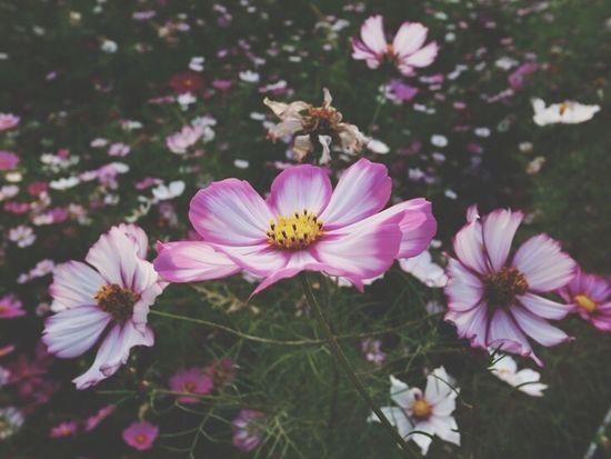 코스모스 Flower Petal Fragility Pollen Flower Head Nature Freshness Beauty In Nature No People Growth Pink Color Cosmos Flower Blooming Day Outdoors Close-up Osteospermum 한강공원