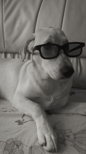 Sarah 🐶 Love #dog #Labrador #blackandwhite #glasses  #art