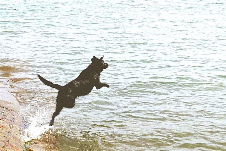 Summer Dogs Labrador Black Labrador Puppy Dog Pet Jump Sea