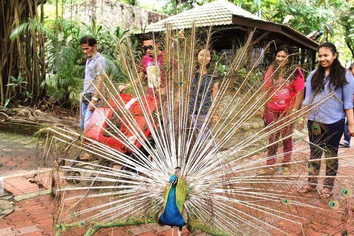 Poor featherless Peacock. Frightened  Bird Zoo Animals