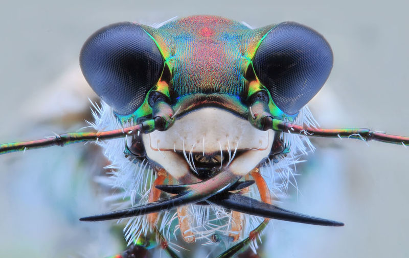face of tiger beetle EyeEm Best Shots Macro Photography Tiger Beetle Animal Themes Animal Wildlife Beetle Close-up Damselfly Day Eye Focus On Foreground Front View Looking At Camera Macro Macro Extream Nature No People One Animal Outdoors Portrait