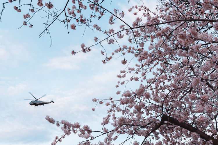 Cherry Blossoms in Washington, DC Tree Sky Low Angle View Branch Plant Flower Nature Flowering Plant Flying Cloud - Sky Mode Of Transportation Blossom Air Vehicle Growth Beauty In Nature Transportation Springtime No People Airplane Cherry Blossom Outdoors Cherry Tree