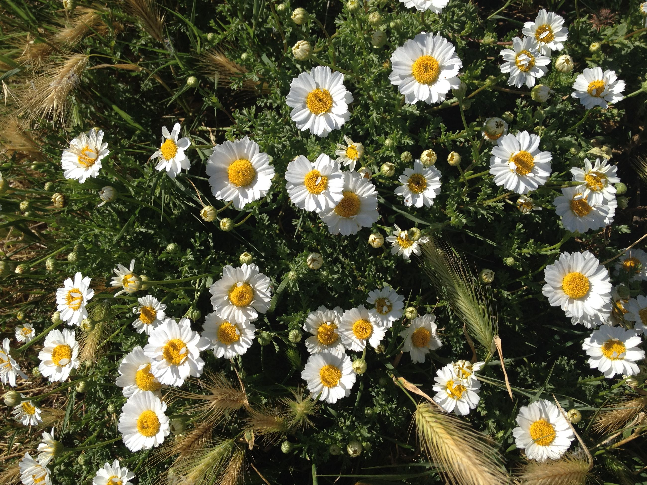 flower, freshness, daisy, fragility, petal, growth, white color, beauty in nature, flower head, blooming, high angle view, nature, yellow, plant, field, in bloom, pollen, blossom, abundance, botany