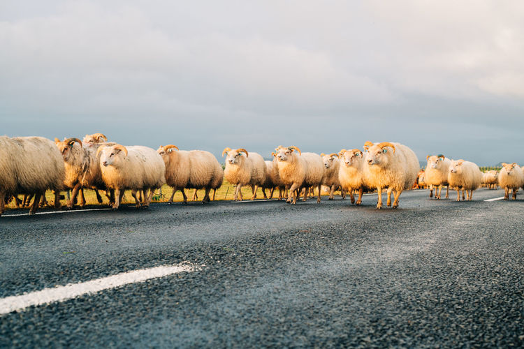Flock of sheep on road