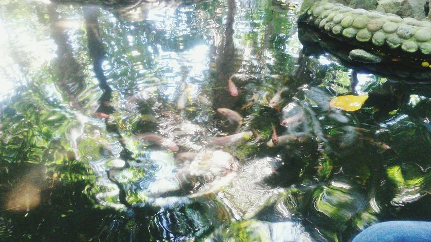 Fhish Water Rock Nature Nature Pond Fishes Tree Trees Leaves Reflection Beauty In Nature Photography Outdoors Marine Animal Animals Marine Fish :)