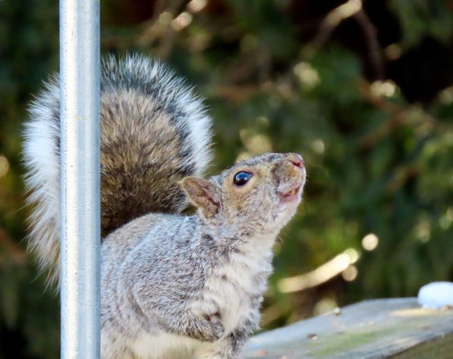 Squirrel perched on a wooden railing looking up focus on the foreground beauty in nature outdoors animal themes Animal Wildlife One Animal No People