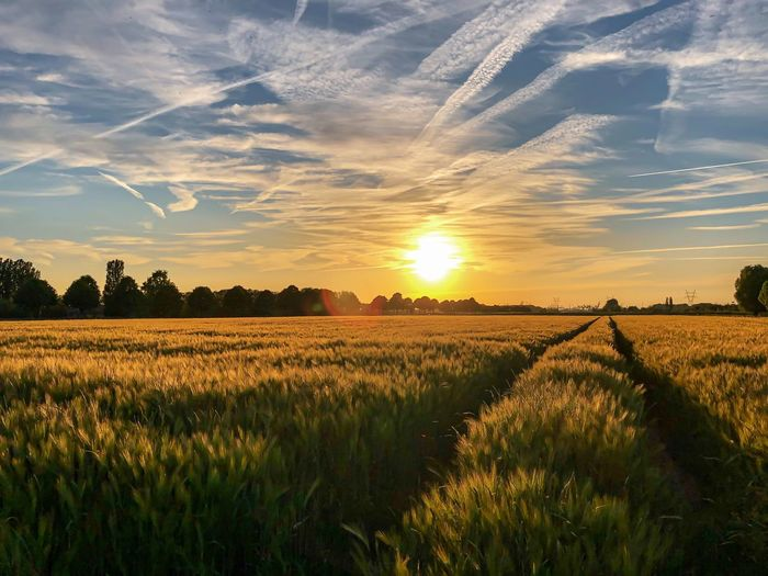 Wheat Sky Field Landscape Rural Scene Agriculture Plant Crop  Environment Beauty In Nature Land Tranquil Scene Scenics - Nature Growth Cloud - Sky Tranquility Sunset Farm Nature Idyllic Cereal Plant