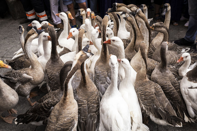 geese and