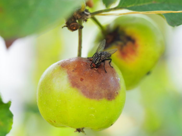 Close-up of ladybug on apple