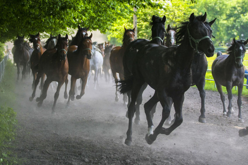 Animal Themes Arabian Horses Domestic Animals Gallop Galloping Herd Of Horses Horse Horse Racing Horse Stud Horses Large Group Of Animals Livestock Mammal Nature Outdoors Running Speed