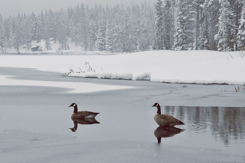 Canada geese swimming on lake against snow covered trees