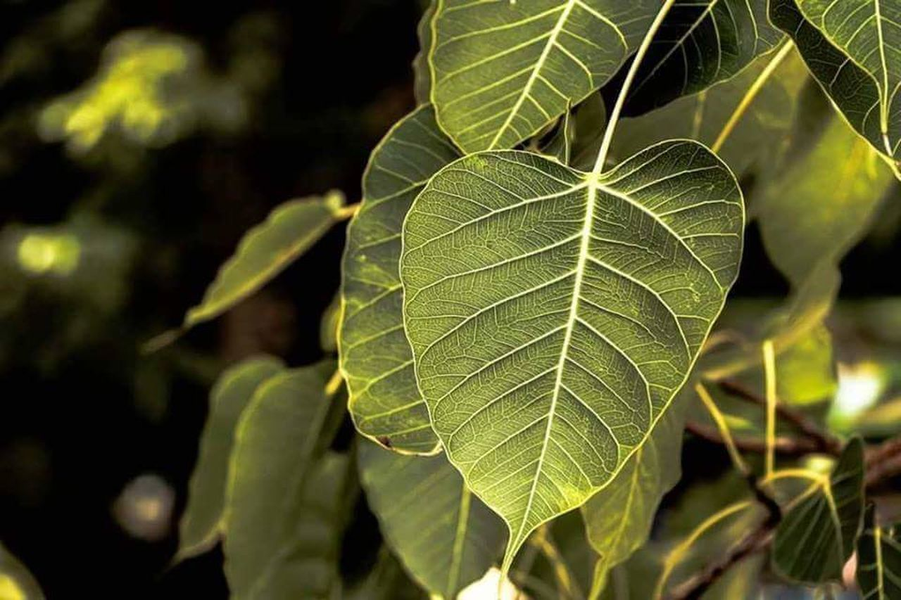 leaf, plant part, plant, green color, nature, close-up, growth, outdoors, day, no people, beauty in nature, tree, leaf vein, focus on foreground, freshness, food and drink, food, backgrounds, agriculture, environment, black background