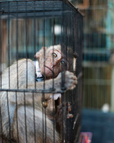Portrait of monkey  in cage and look at her eyes.