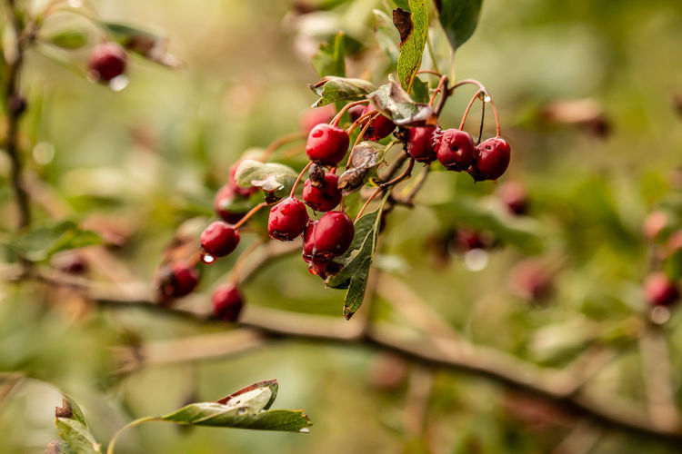 Autumnal hawthorns Jason Gines Beauty In Nature Berry Fruit Close-up Day Focus On Foreground Food Food And Drink Freshness Fruit Green Color Hawthorn Hawthorn Fruit Healthy Eating Leaf Nature Outdoors Plant Plant Part Red Red Berries Red Berries In Tree Ripe Selective Focus Tree