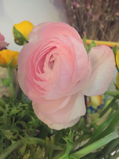 Ranunculus Flowers Floweshots Flowersinlove Pink Pinkflowers Pink Flower