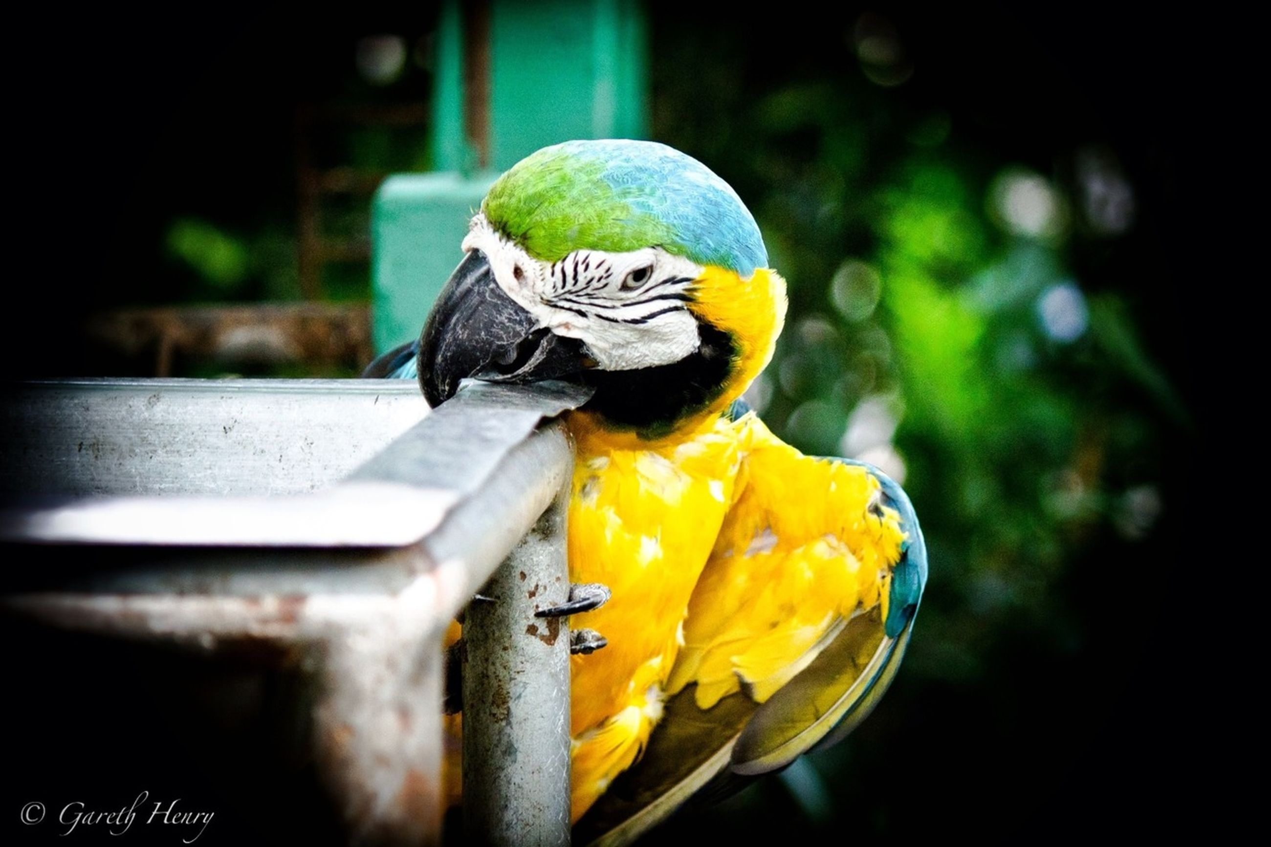 bird, focus on foreground, animal themes, one animal, animals in the wild, yellow, close-up, wildlife, beak, parrot, animal representation, multi colored, perching, art and craft, no people, outdoors, creativity, animal head, art, blue