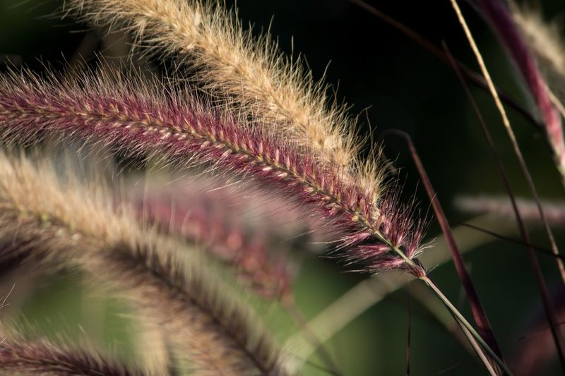 Crimson fountain grasses Close-up Growth Plant Leaf Nature Selective Focus Focus On Foreground Beauty In Nature Water Outdoors Frond Fragility Day Green Color Botany Tranquility Softness Scenics Growing Fountain Grass Nature Nature_collection Nature Photography Naturelovers