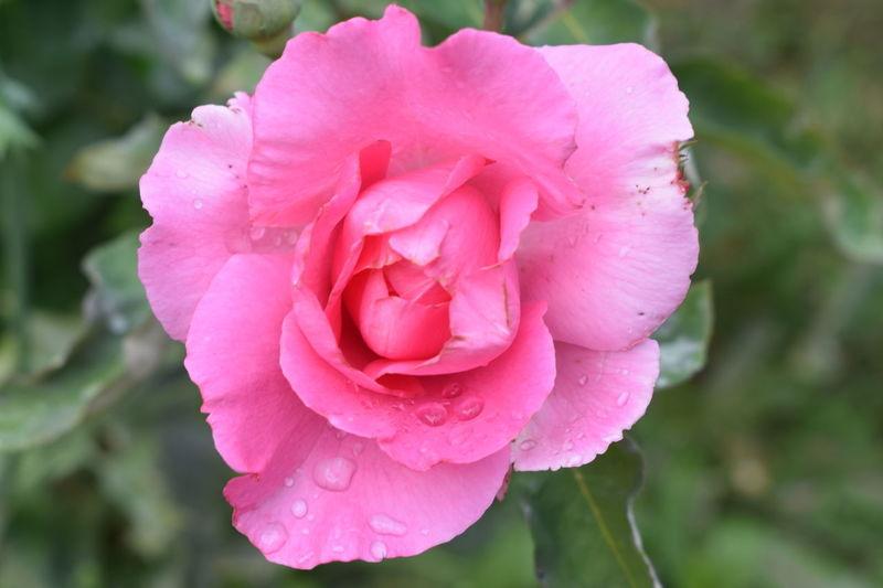 FLEUR ROSE Flowers,Plants & Garden Flower Rose - Flower