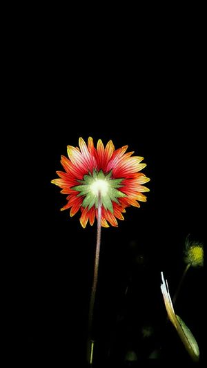 Red And Orange Daisy Midnight In The Garden Of Good And Evil