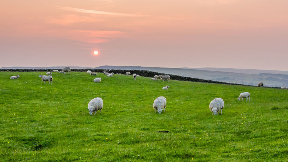 Animal Themes Beak Carefree Composition Countryside Distant Escapism Field Grass Landscape Landscape_Collection Landscape_photography Landscapes Nature Nature Nature_collection Outdoors Perspective Rural Rural Scene Rural Scenes Sunrise Sunrise... Togetherness Yorkshire