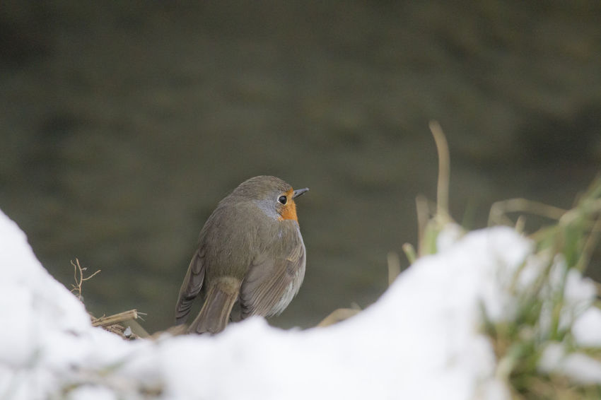 male robin in courtship plumage sits in the snow Animal Themes Animal Wildlife Animals In The Wild Beauty In Nature Bird Close-up Day Mourning Dove Nature No People One Animal Outdoors Perching Robin Snow Winter