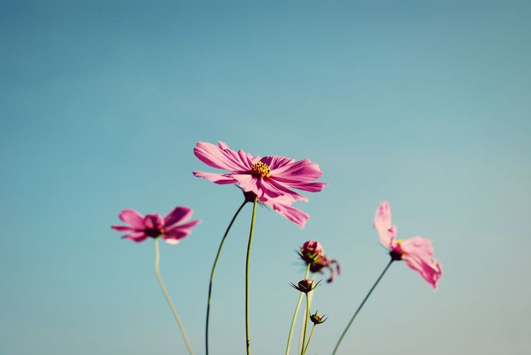 Cosmos Nature Pink Green Pink Flower Wallpaper Backgrounds Vintage Garden Wall Tone Flower Pink Color Petal Close-up
