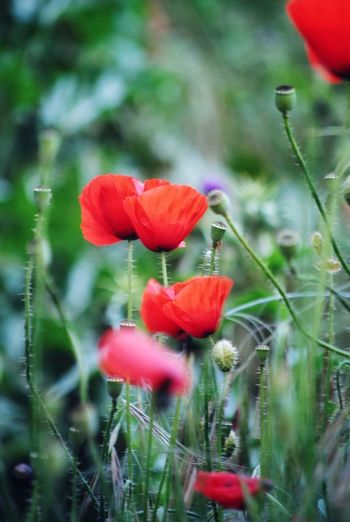 red flowers Flower Poppy Red Flower Head Close-up Plant Petal Cosmos Flower