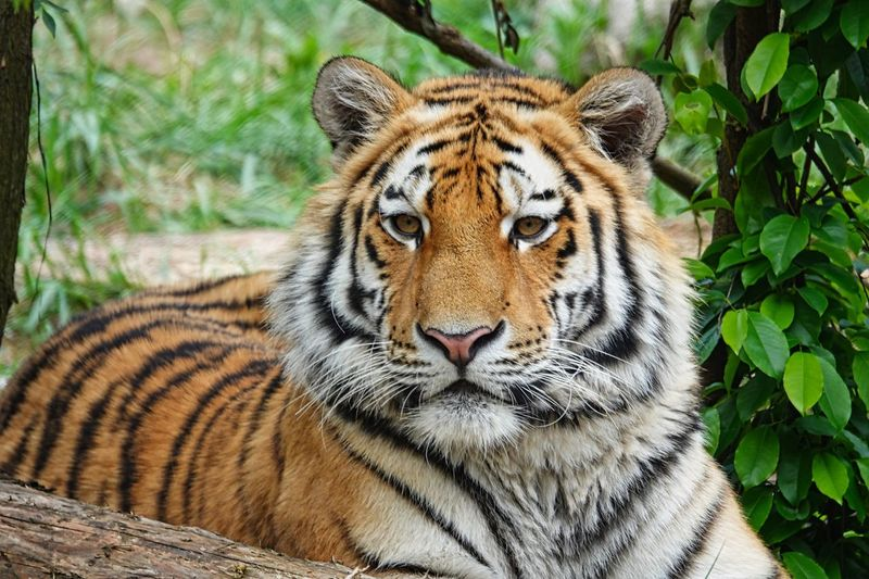 Animal Themes Animal Animals In The Wild Feline Animal Wildlife One Animal Big Cat Cat Tiger Portrait No People Mammal Day Nature Looking At Camera Vertebrate Carnivora Close-up Relaxation Whisker